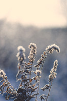 Frosted Fern-1-2